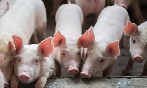 Pigs are susceptible to swine, avian, and human influenza viruses.